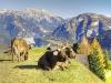 Die Kühe auf den Almen fühlen sich pudelwohl!